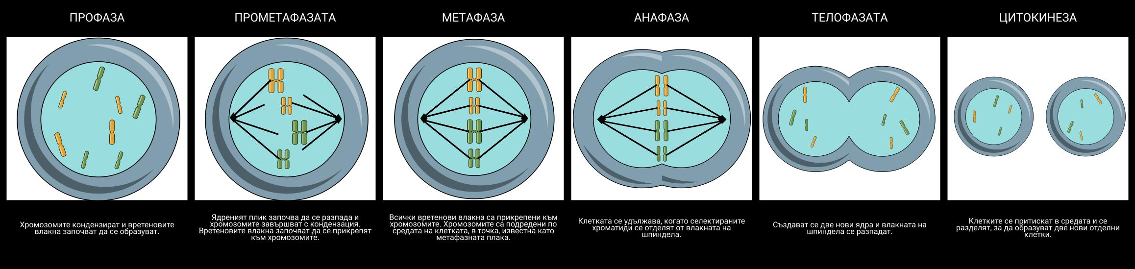 Митоза
