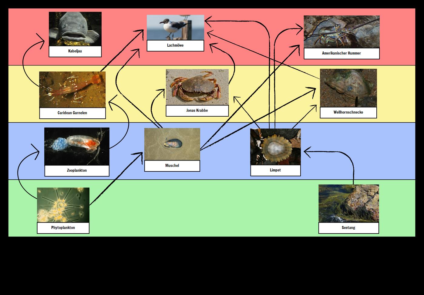 Lebensmittelketten Beispiele | Food Chain Definition & Aktivitäten