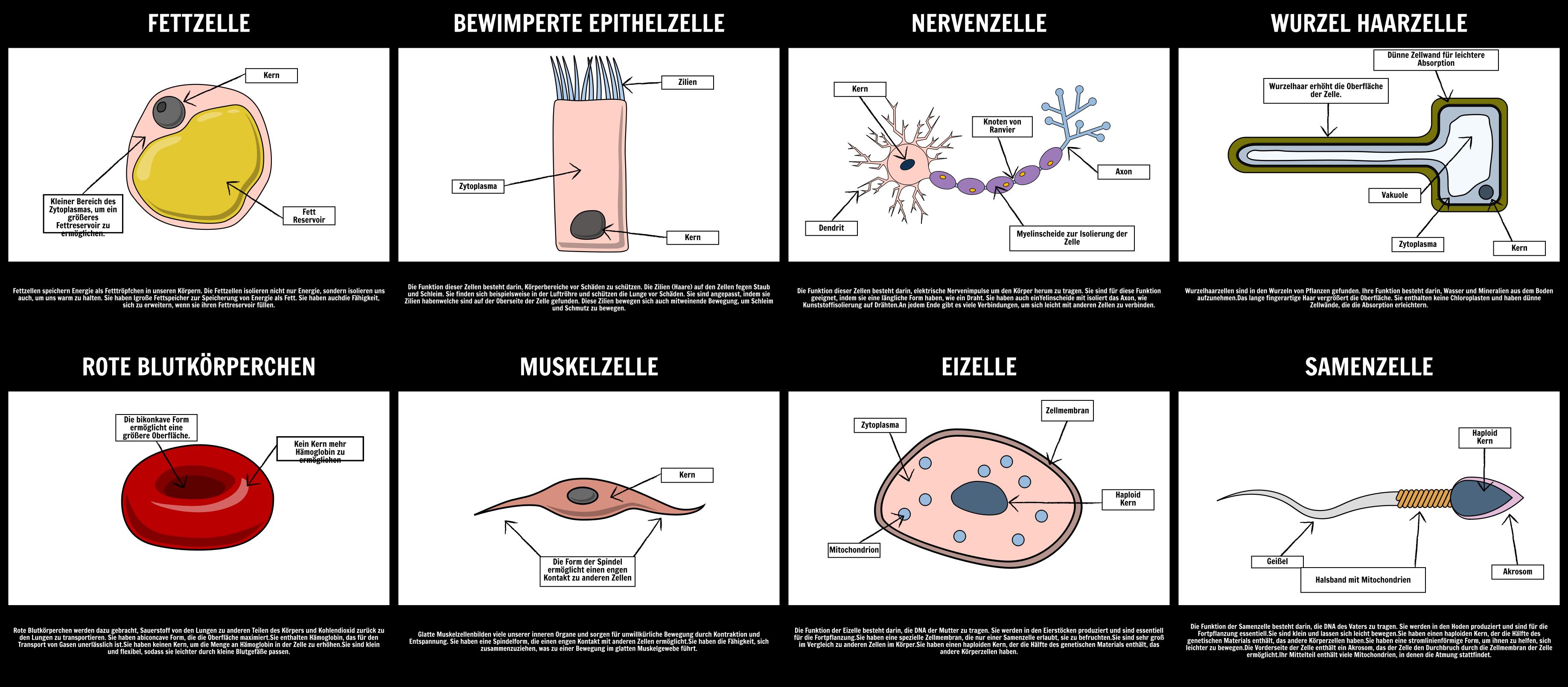 Spezialisierte Zellen | Storyboards für Spezialisierte Zellen in der ...