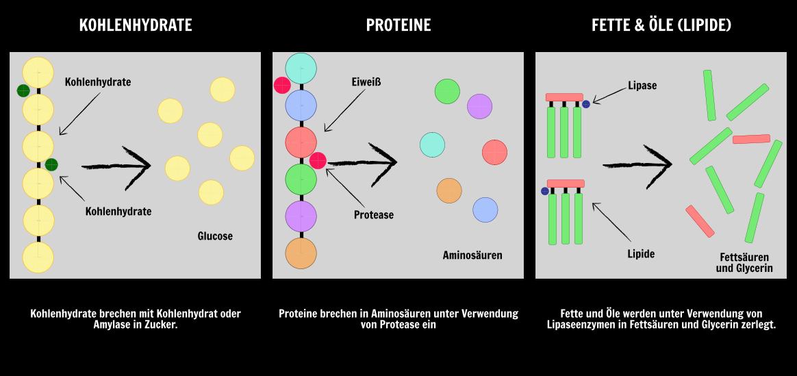 Organe im Verdauungstrakt Diagramm | Wissenschaftliche Unterrichtspläne