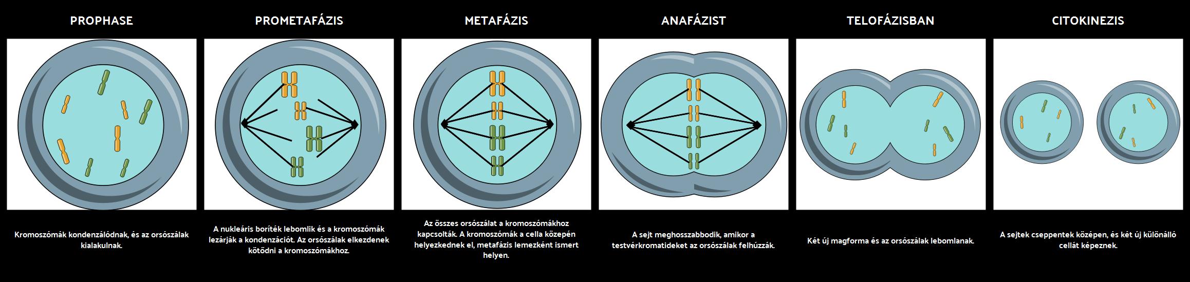 Mitózis