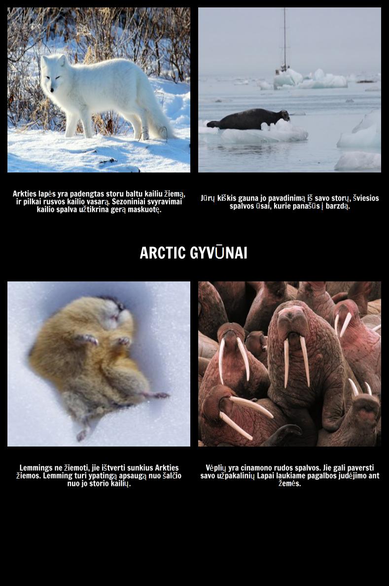 Kur Polar Bears Live? Arkties Gyvūnai