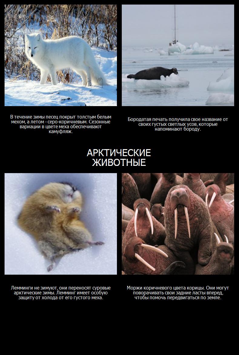 Где Живут Белые Медведи? Арктические Животные
